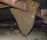 Bees in Floor